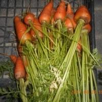 今日の収穫 ニンジン キュウリ シシトウ トマト シロウリ オクラ インゲン