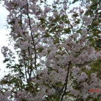 我が家の八重桜が満開