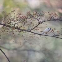 岡崎公園の白いシジュウカラ その89