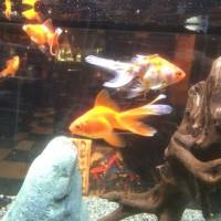 金魚にまつわるエトセトラ