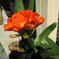 庭の花たち~君子蘭、匂いすみれ、 グミの花・・・