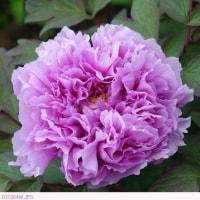 ボタン  〈牡丹 薄紫色の花〉