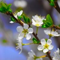 休憩 プラムの花の写真です