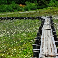 磐梯吾妻スカイライン(浄土平湿原)に咲く わたすげとイワカガミ
