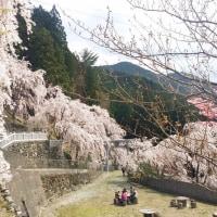 【テニスと無関係:エリア情報】川井峠のしだれ桜は今が見頃