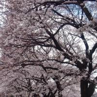 今年も桜の季節がやって来ました〜