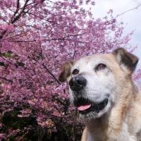 金剛院の河津桜 2017
