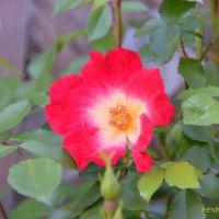 最初に咲いたバラ一輪。