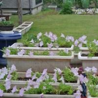 芝生の色が濃くなりサフィニアの花も増えてきた