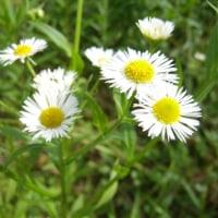 「おはようの花」 姫女苑(ひめじょおん) 6月