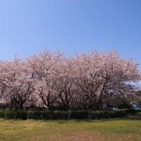 上大島キャンプ場のさくらの光景