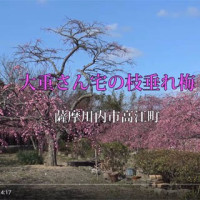 薩摩川内市 大重さん宅の枝垂れ梅