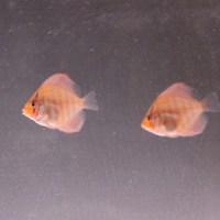 赤っぽいAJ2010F2稚魚