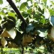 収穫直前の梨畑