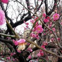 紅梅、白梅、咲いた。