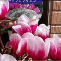 ☆一鉢💯円のシクラメン🎶まだ咲いてくれてます✌☆