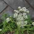 ヒヨドリバナ 鵯花
