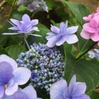 紫陽花の映える季節。