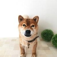 柴犬 ロンくん