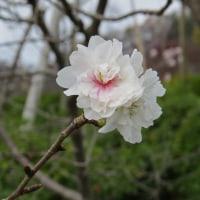 [#3446] 11月に撮った花のマクロ写真(1)カンザクラー初回ー