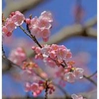 河津桜 5
