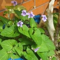 薄紫色のすみれの花が咲きほころんでいますね!母を思い出します!
