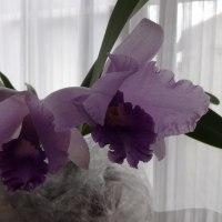 カトレア プアポールブルーヘブン二つ目の花が咲く