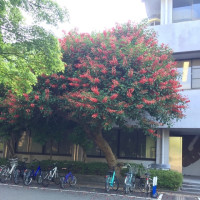Indian coral tree, 梯梧、でいご