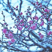 雪の八重千鳥