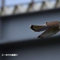 今日の野鳥・・・チョウゲンボウ 【その2】・・・飛び物ですが。。