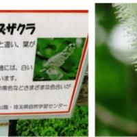 ウワミズザクラ・上溝桜