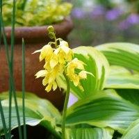 黄エビネ咲く庭とカラーリーフの楽しみ