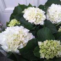 多肉💛リース新作、斑入りネックレス植え込み、紫陽花は残りシュガーホワイトのみです!
