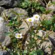白馬五竜高山植物園(8)
