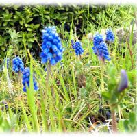 夢にかける思い 春の花(^^♪ギリシア語の「moschos(ムスク)」(麝香)に由来する「ムスカリ」