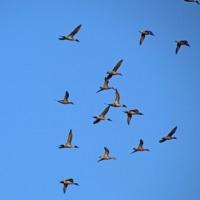 本埜白鳥の郷 感動の北帰行を見に行ってきました