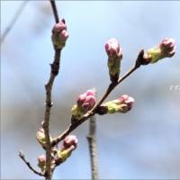早咲き桜 ~寒緋桜