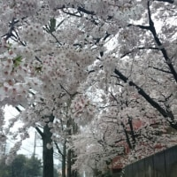 雨の桜の並木道