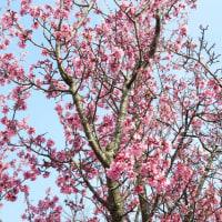 「満開のチョウベイザクラ」 いわき 新川の桜並木にて撮影!