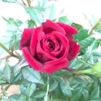 薔薇のはなし