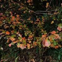 奄美大島の紅葉する樹(落葉樹):カンコノキ