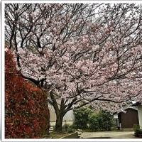 Cherry blossom・・・・