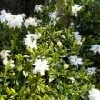 白いくちなしの花