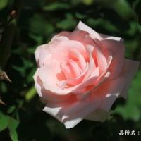 秋バラ その14