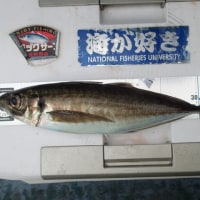 クーラー満杯! 東京湾釣行記