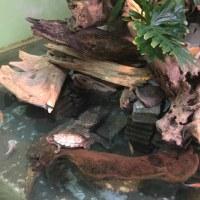 水族館のアカミミガメ