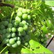 我が家の緑の果実たち