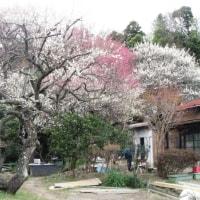 春の鎌倉;大船観音・貞宗寺・龍宝寺観梅と田園都市の名残を求めて