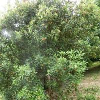 神於山ボラ☆ヤマモモの収穫はもう少し先(6月24日)