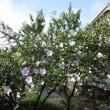 夏の間次々に咲くムクゲの花/タケプロンなどのプロトンポンプ阻害薬(PPI)は副作用が多い!飲んでて大丈夫か心配?